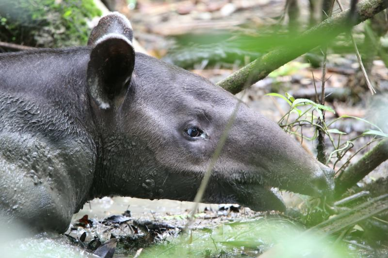 Tapir in Corcorvado National Park