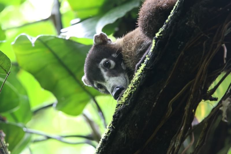 Coati (Costa Rican Raccoon) Corcovado National Park