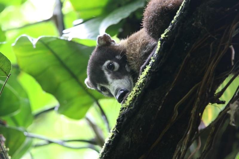 Coati (Costa Rican Raccoon) Corcovado National Park