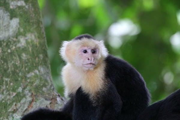 White Face Monkeys Costa Rica