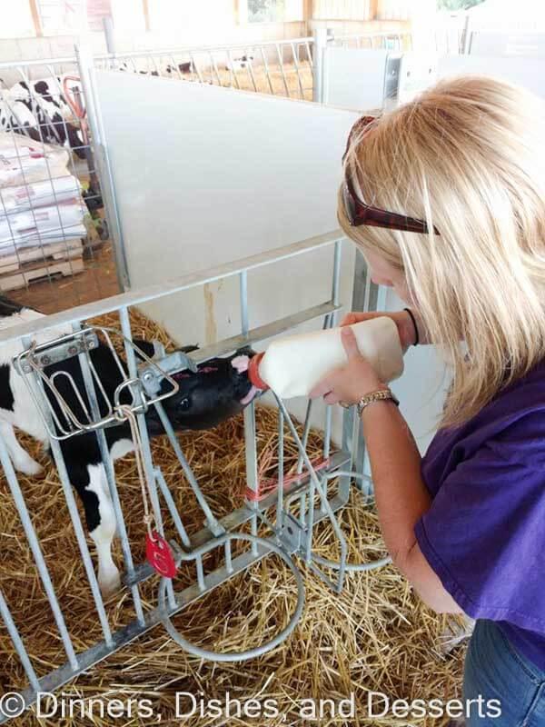 Milking week old calfs at Clardale Farms
