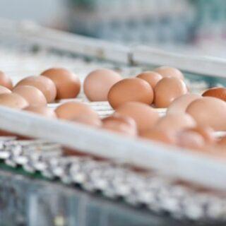 eggs on a conveyor belt